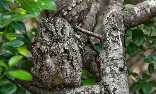 عکس های جالب و دیدتی استتار جغدها در طبیعت
