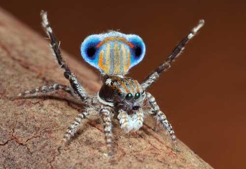 عکس های جالب و دیدنی عنکبوت طاووسی