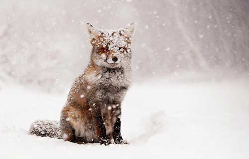 عکس های دیدنی و بامزه از دنیای روباه ها