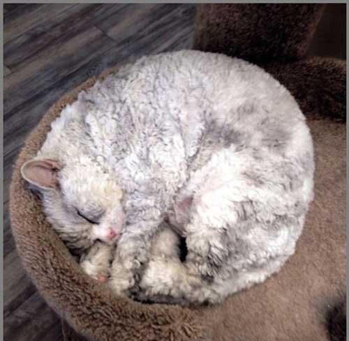 عکس های جالب گربه شبیه گوسفند عصبانی