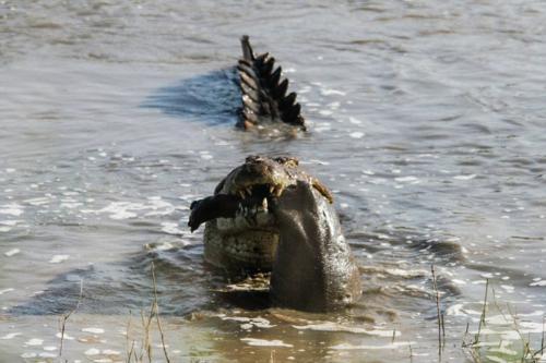 عکس های دیدنی حمله وحشیانه تمساح به نوزاد اسب آبی