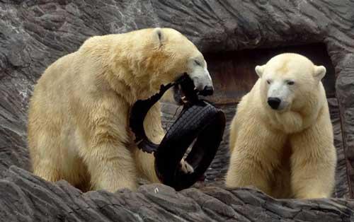 عکس های خنده دار و جالب خرس های قطبی
