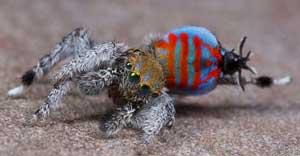 عکس های جالب عنکبوتی زیبا شبیه طاووس