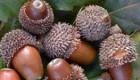 فواید جالب میوه ی بلوط برای بدن انسان