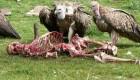 تصاویر وحشتناک سنت خوردن انسان توسط لاشخور ها