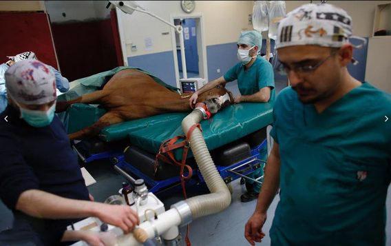 تصاویر جالب از تیمار اسب های ضرب دیده و بیمار