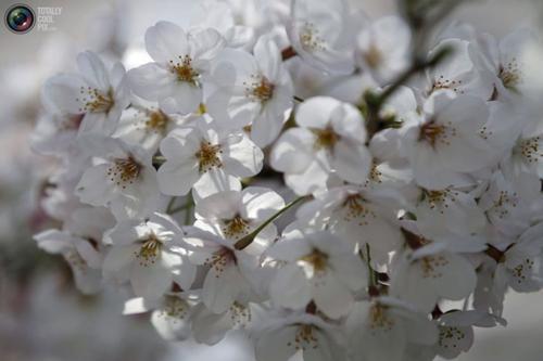عکس های شگفت انگیز از شکوفه های بهاری درختان گیلاس در توکیو