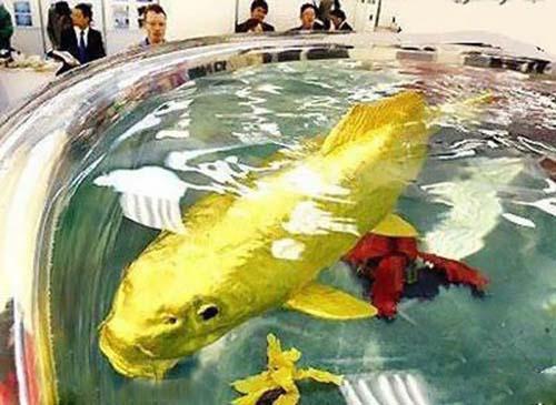 تصاویر صید ماهی طلای قول پیکر در تایوان