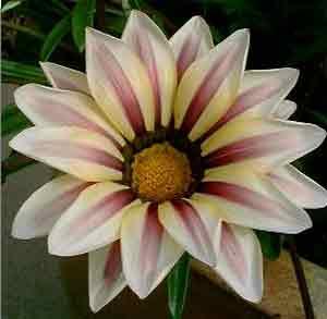 طرز نگهداری گل گازانیا