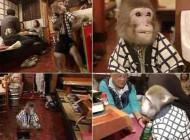 اداره یک رستوران توسط میمون های گارسون بامزه