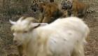 تصاویر بزی که برای توله ببر ها نقش مادر را دارد