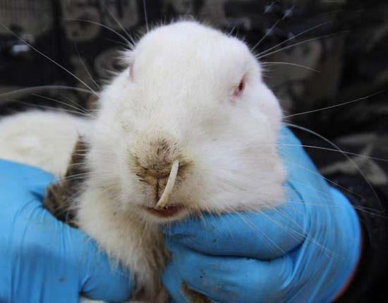 رشد بیش از حد و ترسناک دندان این خرگوش