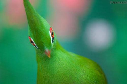 تصاویر زیبا از پرنده بهشتی