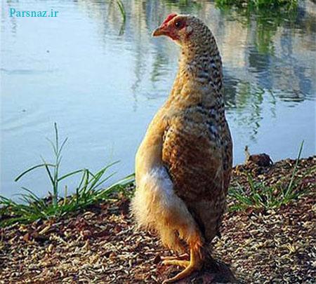 مرغی که عقل دارد و فکر میکند !؟