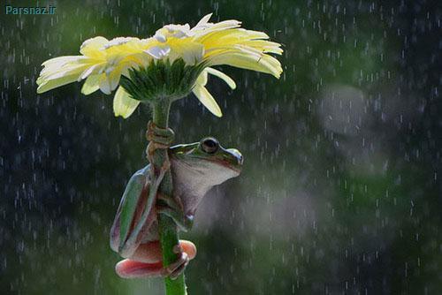 چتر هایی از جنس گل برای قورباغه های بی سرپناه