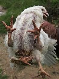 مرغ عجیب 4 پا همه را شوکه کرد