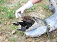این ماهی به خاطر شکار اردک خودش صید شد