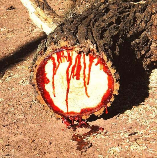 این درخت بجای شیره خون دارد