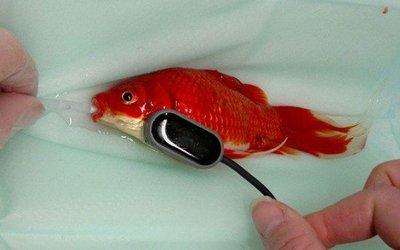 جراحی ماهی قرمز به خاطر ناتوانی اش