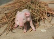 تولد خوک صورتی با دو پوزه و سه چشم