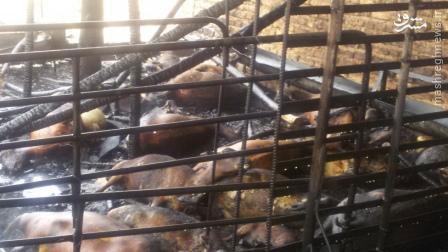 تصاویر گوسفندانی که در ایران زنده زنده کباب شدند