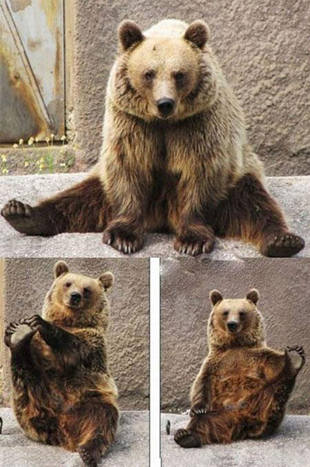 این خرس زیبا روزی ربع ساعت پیلاتس کار میکند
