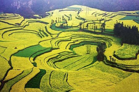 تصاویر زیبا از دشت طلا در چین