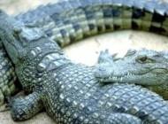 عکس های تمساح گرسنه در تاسیسات عسلویه