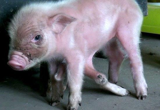 تصاویر عجیب از خوک 8 پا به نام خوک تاپوس