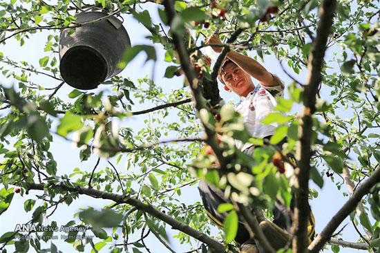 تصاویر برداشت گیلاس در باغ های شهر دماوند