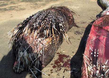 این مار عظیم و الجثه با خوردن جوجه تیغی غول پیکر خود کشی کرد