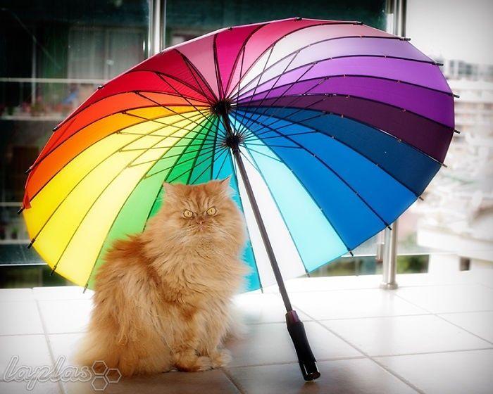 بی اعصاب ترین و زیباترین گربه جهان