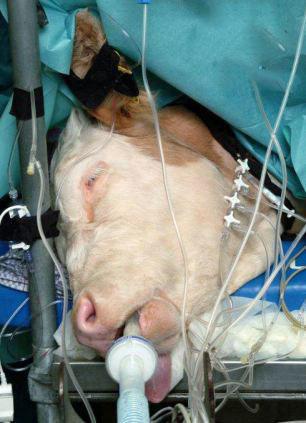 جراحی زیبایی گاو ؟