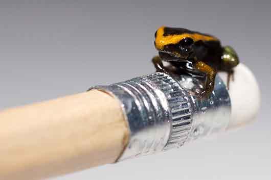 کوچکترین زیباترین و خوش رنگ ترین غورباقه های جهان