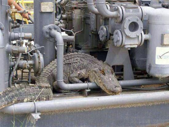 ورود بی سروصدای این تمساح بزرگ دردسر ساز شد