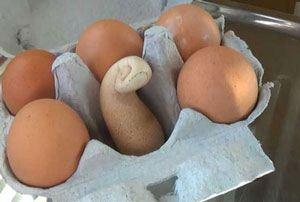 آیا این واقعا تخم مرغ است؟