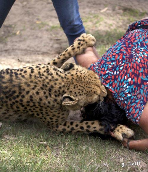 شوق عکس گرفتن این زن با یوزپلنگ کار دستش داد