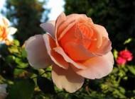 ریشه ضرب المثل با یک گل بهار نمی شه