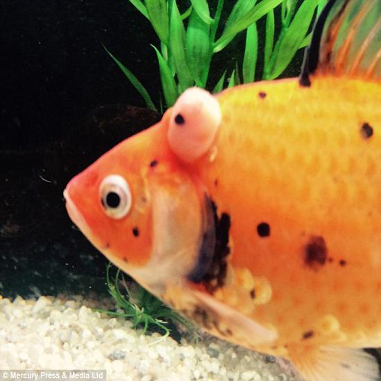 تومور خارج شده از سر یک ماهی حساس ترین جراحی دنیا