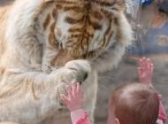 خورده شدن دست کودک کودک 2 ساله توسط ببر در باغ وحش