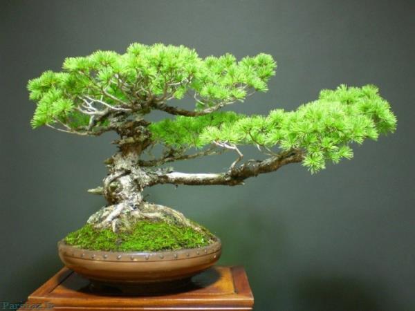 تصاویر جالب از درختچه های مینیاتوری
