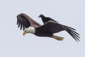 سواری گرفتن جالب کلاغ از عقاب