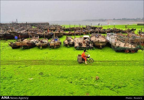 تفریح و شنا در سواحل و دریای جلبکی چین