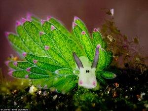 تصاویر زیباترین موجود دریایی جهان در سواحل بالی شبیه موجودات تخیلی