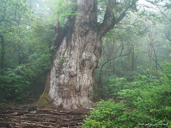 تصاویر تنومندترین درخت های جهان در یکجا