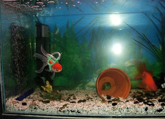 این ماهی ها با ویلچر شنا میکنند