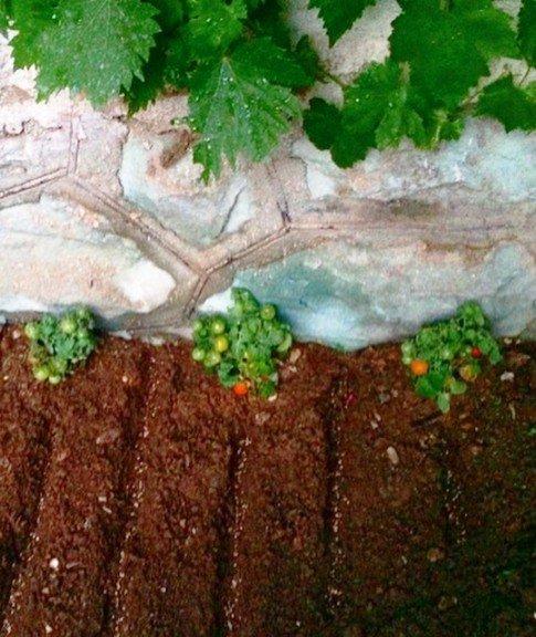 پرورش گوجه به سبک ملیکا شریفی نیا