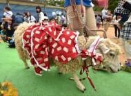 گوسفندی که با 20 ژاکت مردانه زندگی میکرد