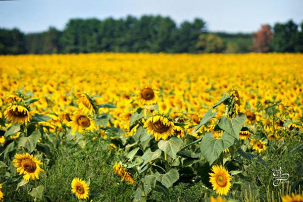 عاشقانه ترین مزرعه آفتاب گردان دنیا