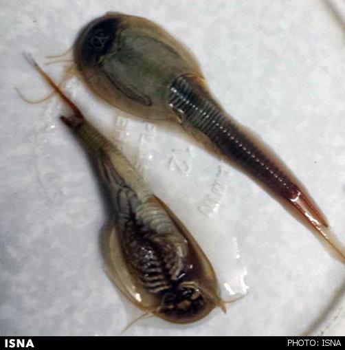 تصویر مشاهده گونه عجیب و نادر آبزی در گناباد